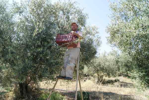 Как собирают зеленые оливки