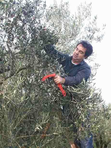 Как собирают оливки Каламон