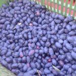Как собирают оливки? Часть 2-я.