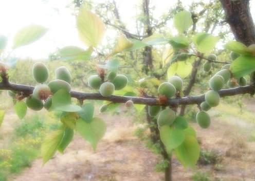 Как прореживают абрикосы