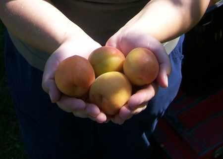 Сбор абрикосов 2011