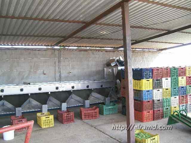 Конвейер для сортировки оливок