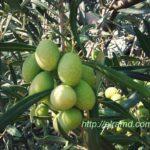 Зеленые оливки. Экскурсия на фабрику