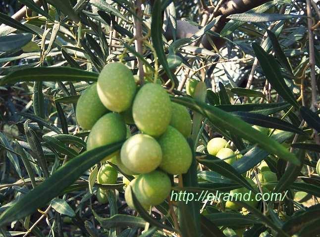 Зеленые оливки переработка