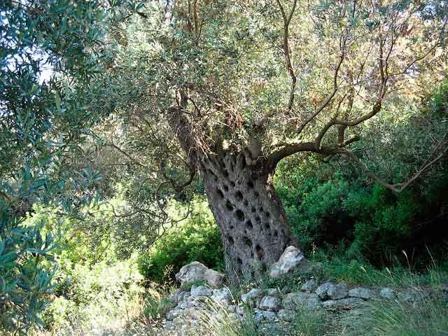 Этой оливе сотни лет