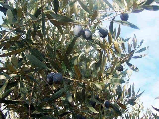 Оливки сорта Каламон