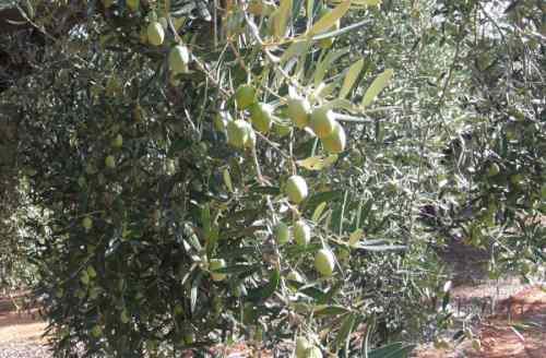 Оливки сорта Мегара