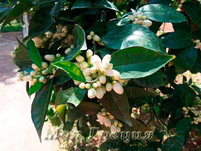 Халкидики в мае: апельсины зацветают