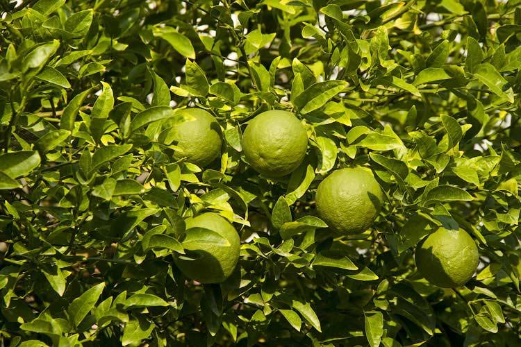 Зеленые лимоны в Пефкохори