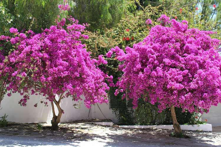 Цветущие бугенвиллии