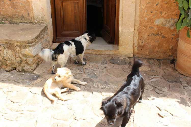 Собаки живут в монастыре Восаку