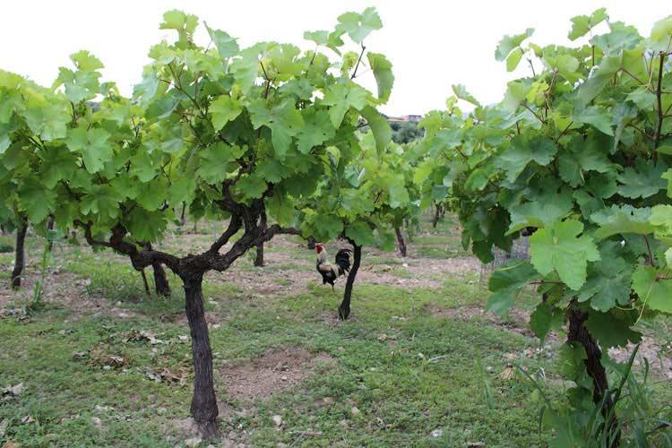Петух меж виноградных лоз