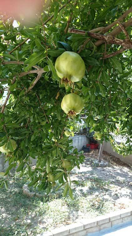 Гранатовое дерево во дворе