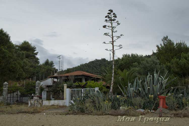 Громадная агава перед пляжем