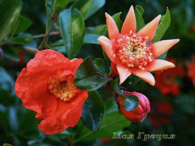 Цветы граната, мужской и женский