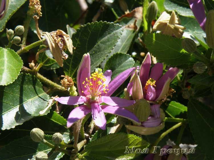 Цветы Ситонии