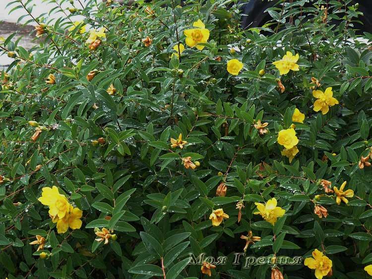 Цветы Ситонии после дождя