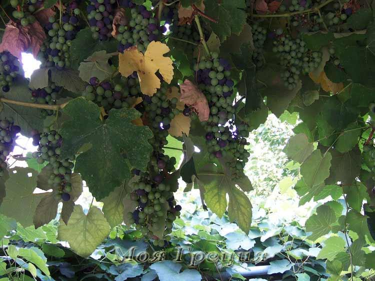 Ох, зелен виноград!