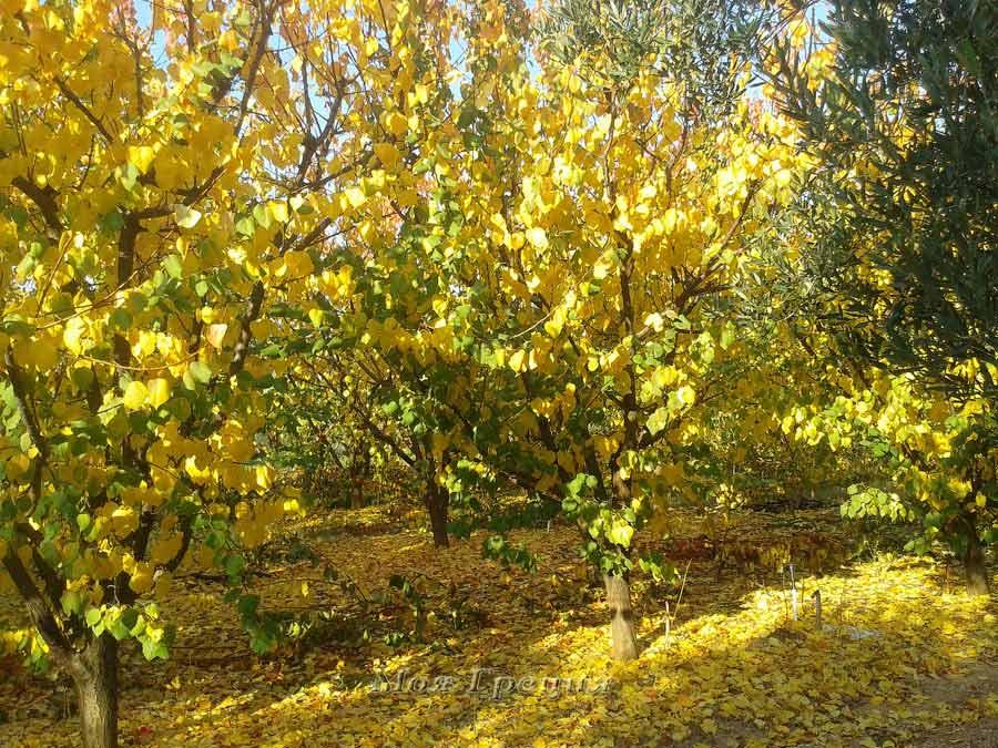 Абрикосовые деревья в ноябре