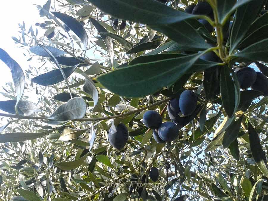 Оливки сорта Каламон (Каламата)
