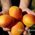 Страсти по абрикосам 2016