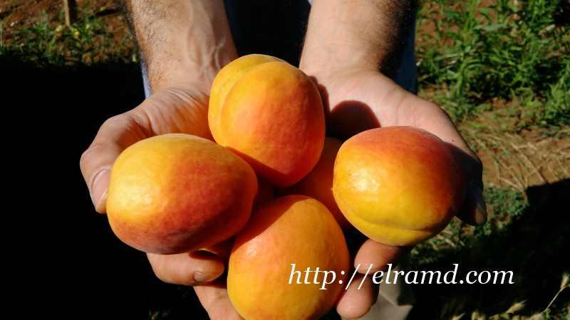 Сбор абрикосов в Греции 2016
