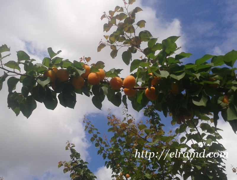Французские абрикосы