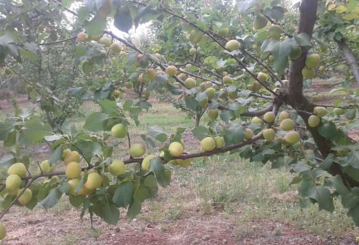Ещё неспелые абрикосы Эпидавру