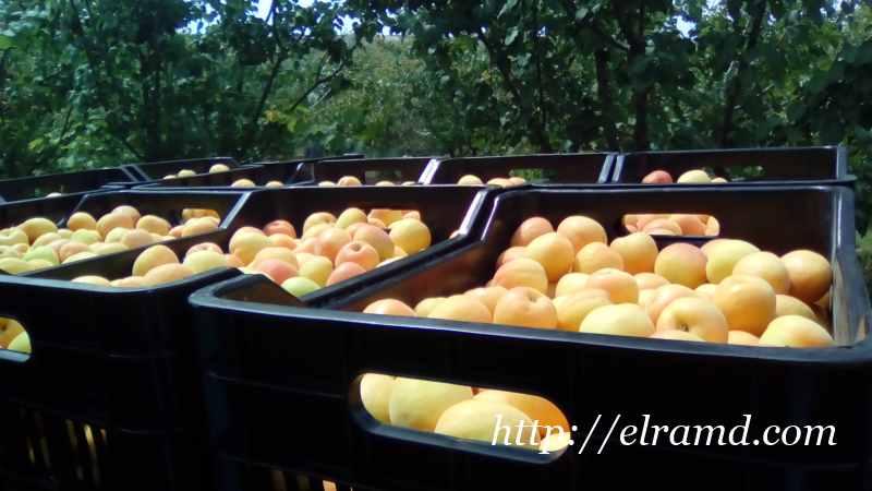 Ящики с абрикосами на отправку