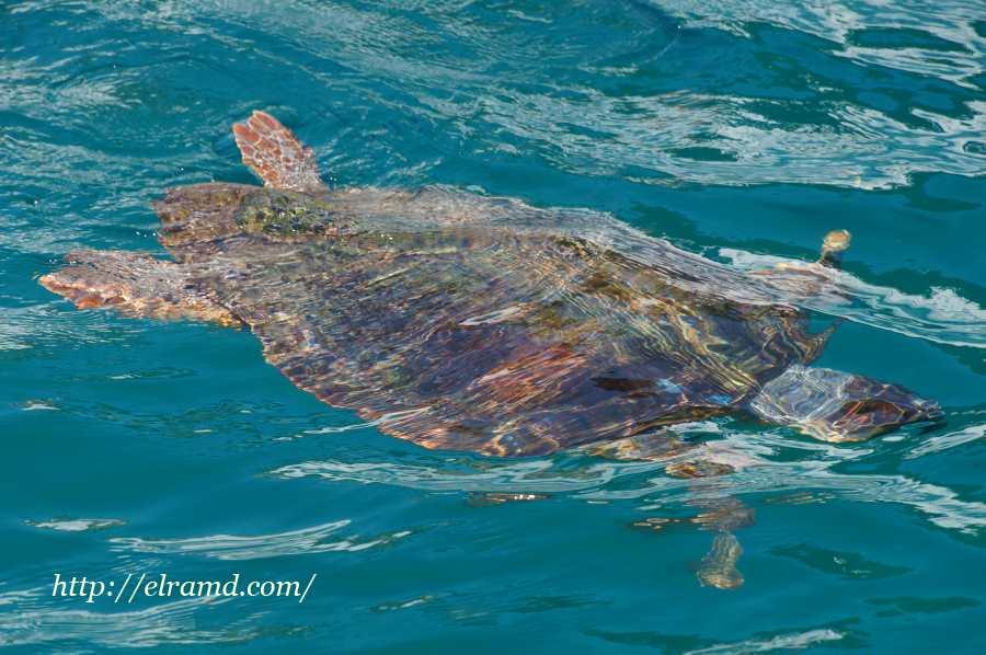 Реликтовая черепаха каретта-каретта
