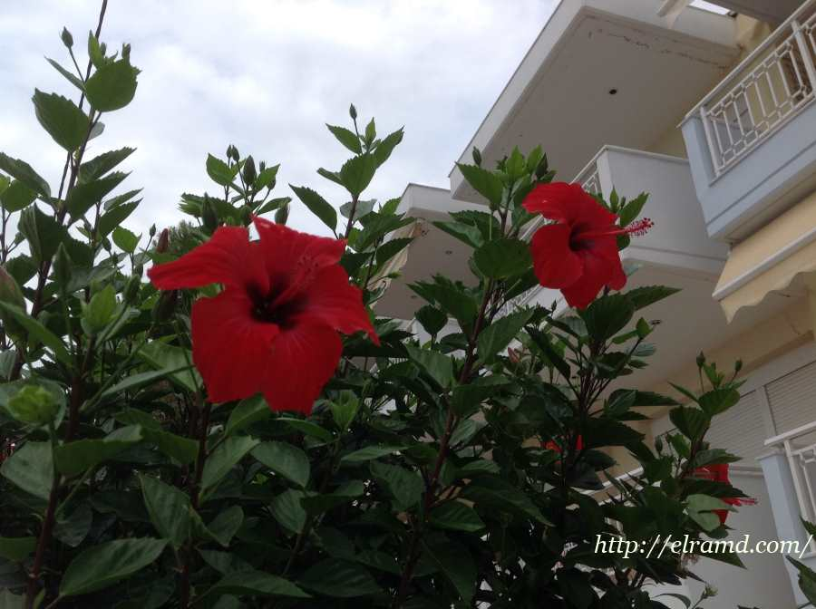 Цветущий гибискус (каркаде)