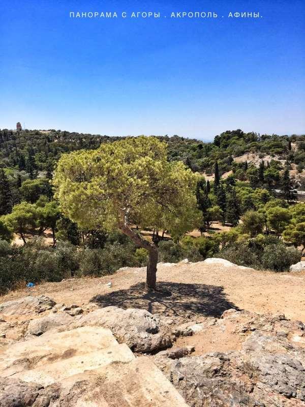 Олива на Акрополе