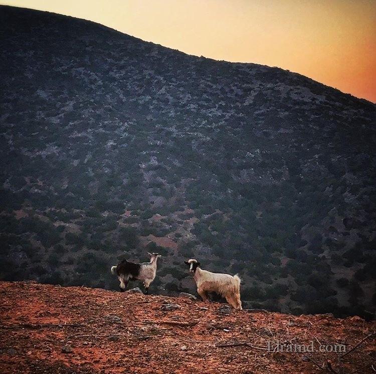 Козы на склоне горы