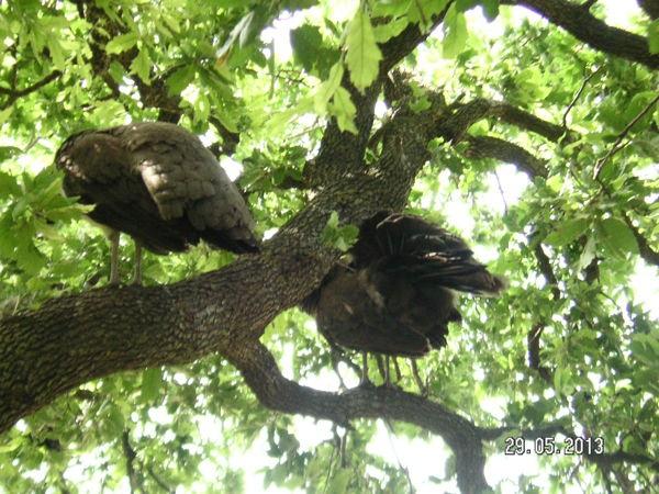 Павлины на дереве