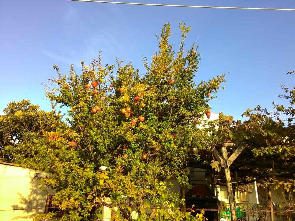 Гранатовое дерево в Афитосе