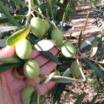 Сбор оливок 2016 и ещё немного осени