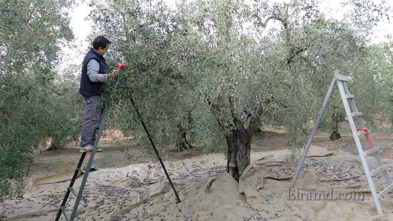 Мой муж Йоргос вычесывает оливки