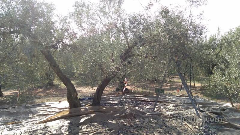 Так собирают оливки на масло