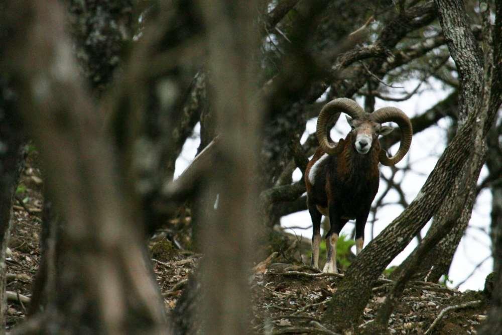 Дикий муфлон в парке Буразани