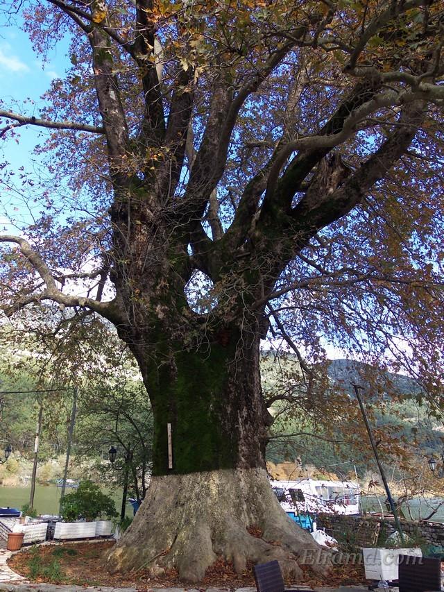 На острове много очень старых деревьев