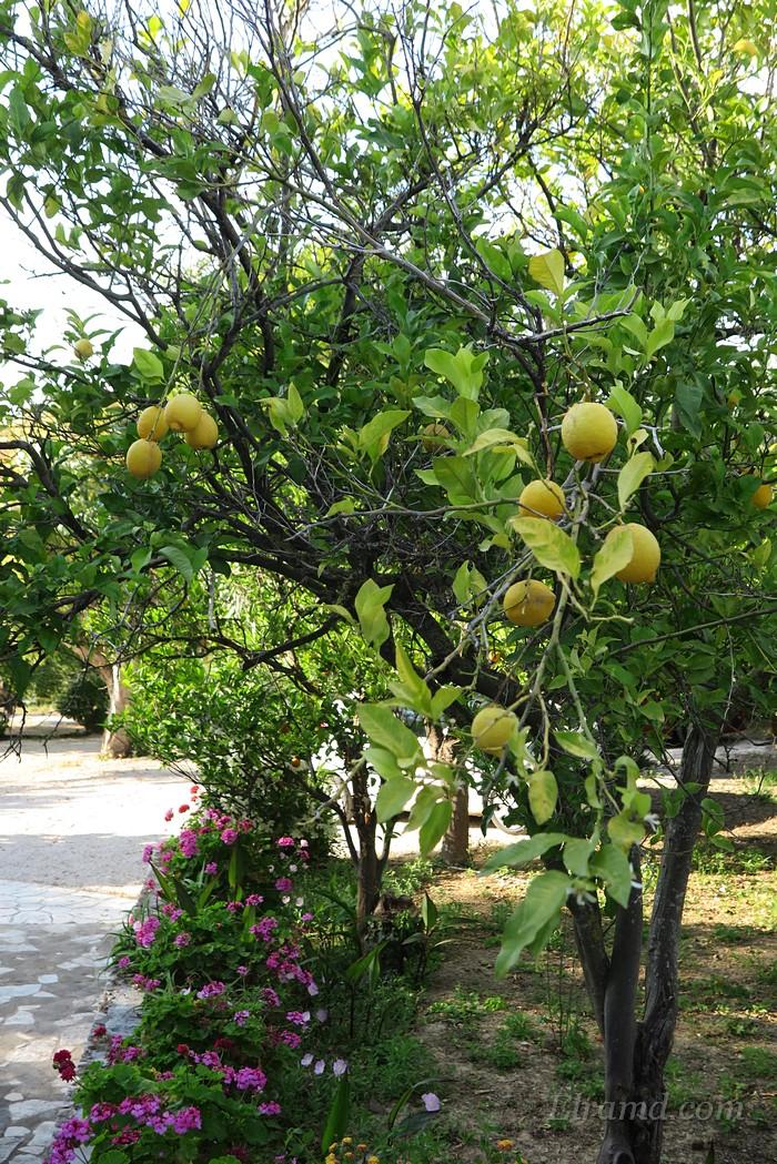 Лимоны Пелопоннеса везде