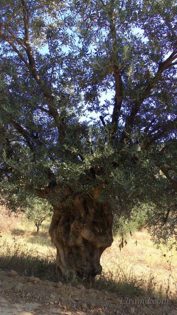 Этой оливе не одна сотня лет