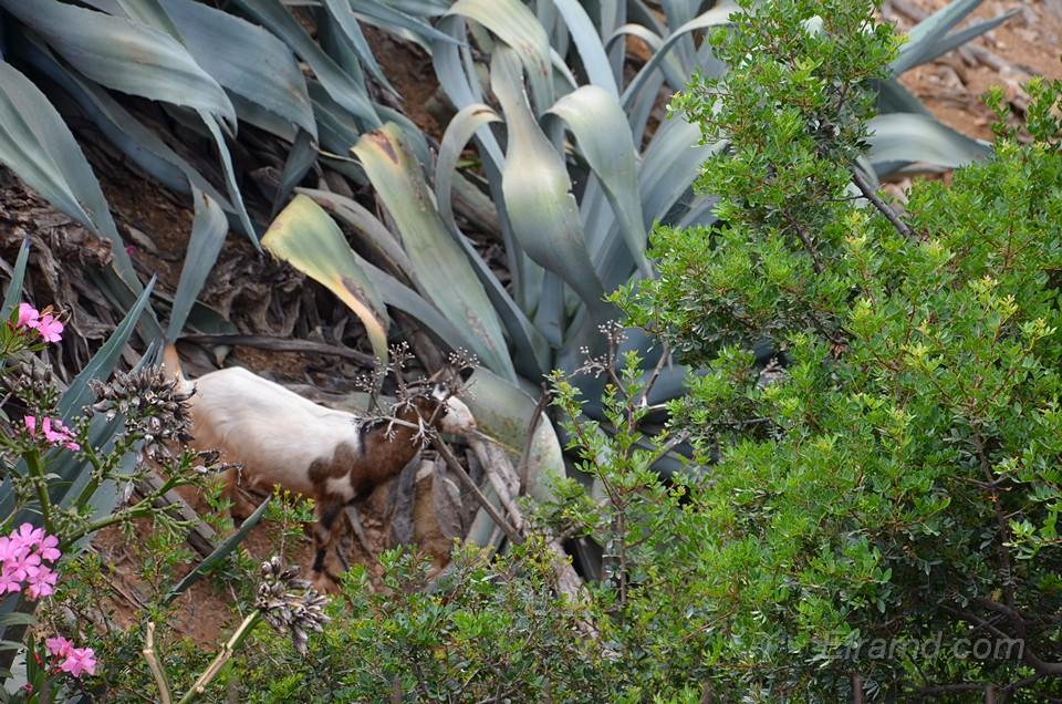 В зелени прячутся козы