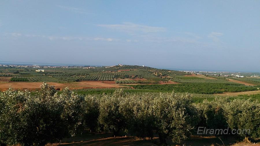 Оливковые рощи Халкидики