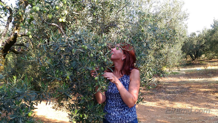 Оливы и оливки