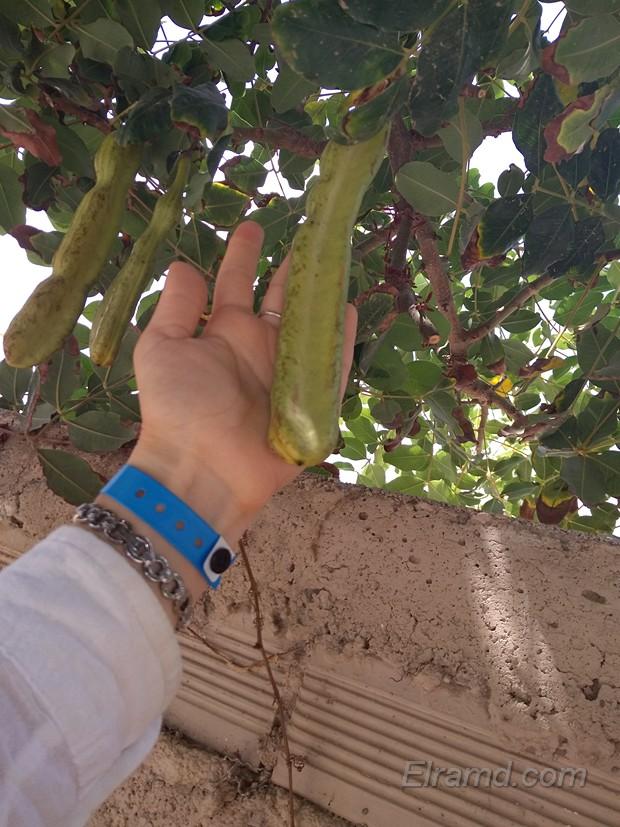 Рожковое дерево, Амудара