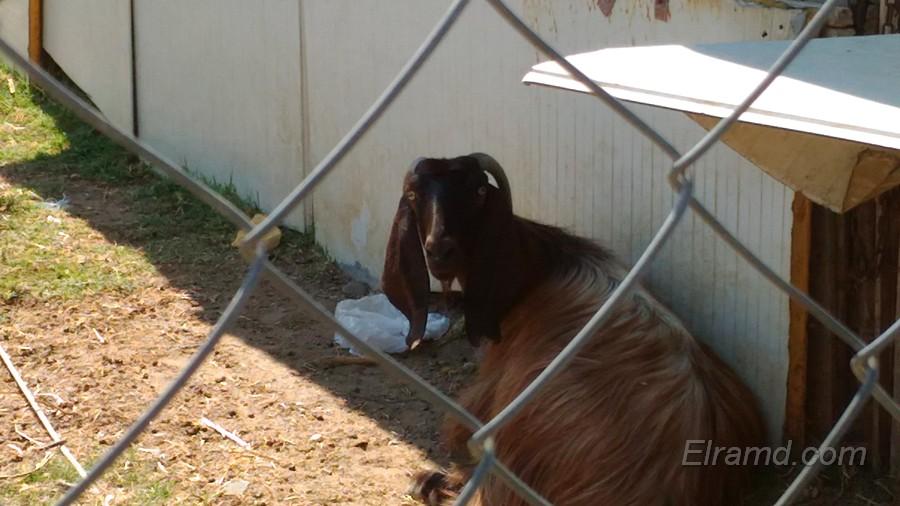 Коза в тенечке