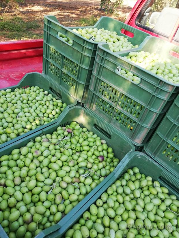 Собранные зеленые оливки Халкидикис