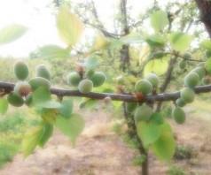 Как прореживают абрикосы (видео)
